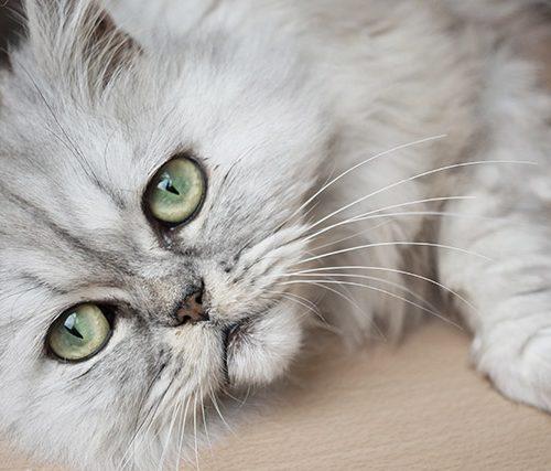 kat, pleuntje, pers, langhaar, groene, ogen