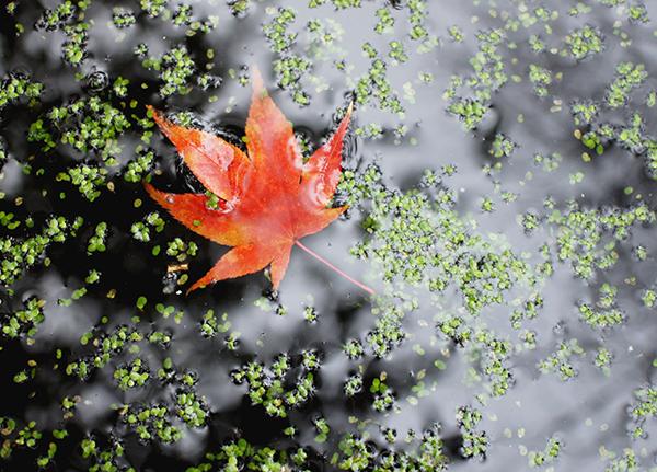 blad, herfst, water, kroost, oude hortus, tuin, utrecht