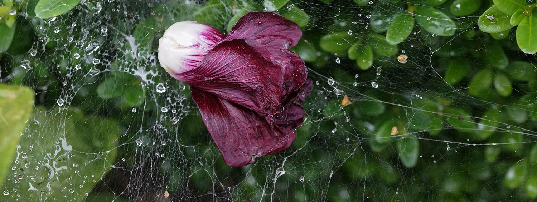bloem, spinnenweb, web, druppels, druppel, gevallen, natuur, tuin, achterhoek, varsseveld