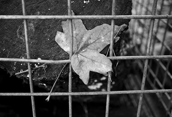 blaadje, blad, hekwerk, boomstam, hek, zwart-wit, natuur, hofshuus, varsseveld, achterhoek
