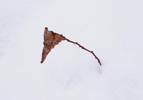 takje, tak, blaadje, blad, sneeuw, bruin, wit, detail, close-up, fotografie