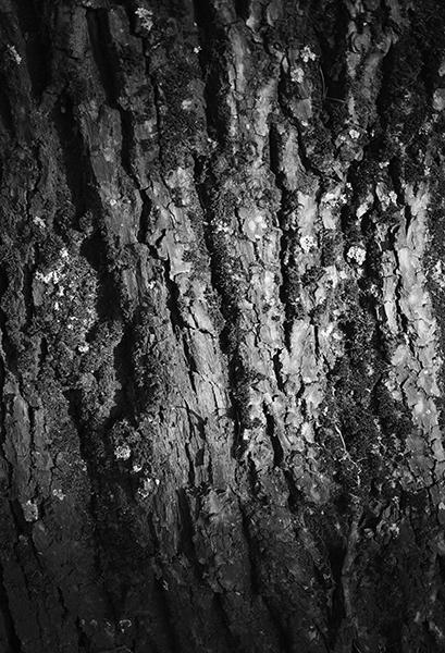 boom, schors, boomschors, zwartwit, zwart-wit, zon, straal, structuur