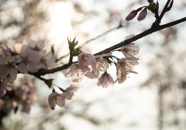 bloesem, roze, keukenhof, natuurfotografie, bloemetjes