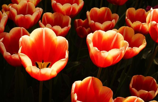 tulpen, keukenhof, zonlicht, rode tulpen, doorschijnend, fotografie, foto, natuur, bloemen