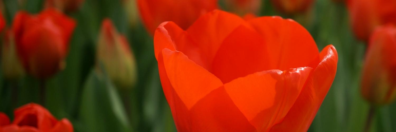 Keukenhof, tulpen, rode tulpen, zonlicht, natuurfotografie