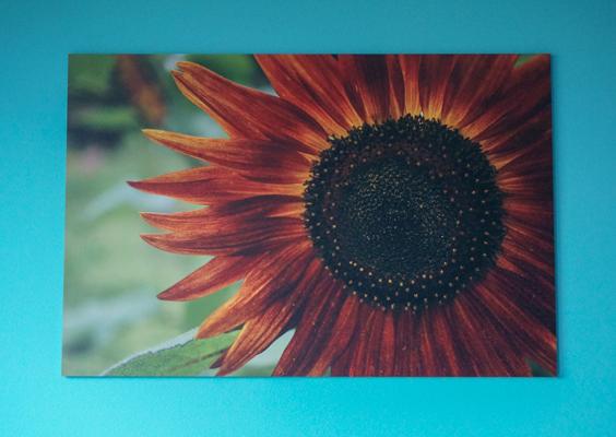 Foto op de muur van een zonnebloem