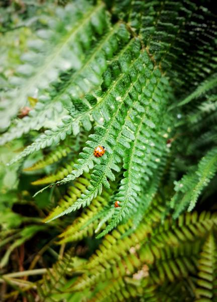 Huawei P20 Pro, lieveheersbeestjes, varen, blad, Oude Hortus, Utrecht, botanische tuin